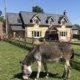 Mistletoe Cottage Donkey